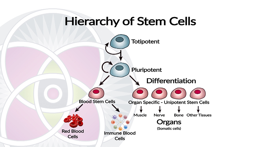 Hierarchy of Stem Cell differentiation into different organs