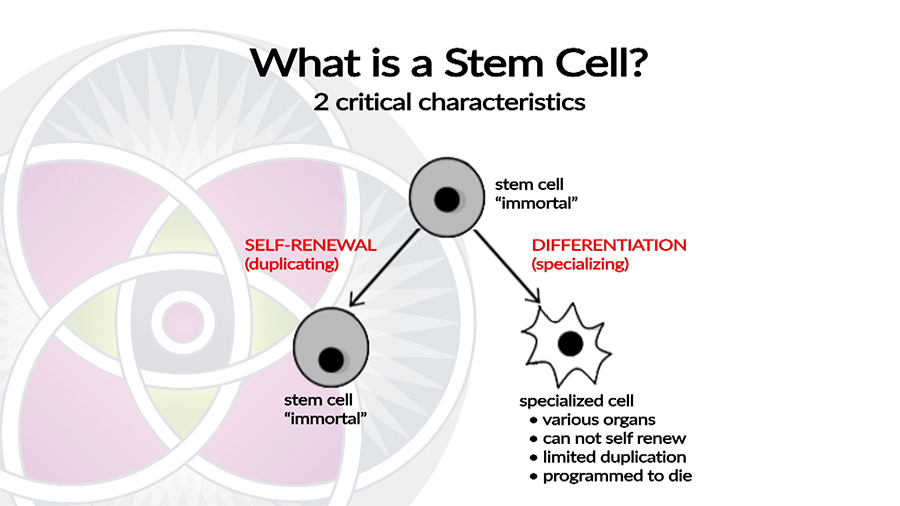 Stem Cells self replicate and generate new specialized organ (somatic) cells