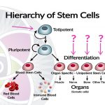 What are Stem Cells and Where Do They Come From?
