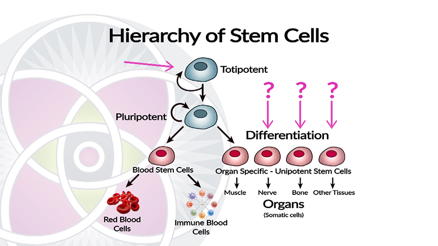 Embryonic Stem Cells are Still Undifferentiated and Not Used in Clinical Medicine