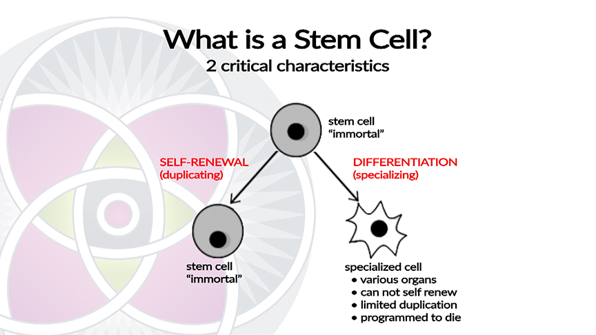 What are stem cells? Stem Cells are Defined by Two Critical Characteristics