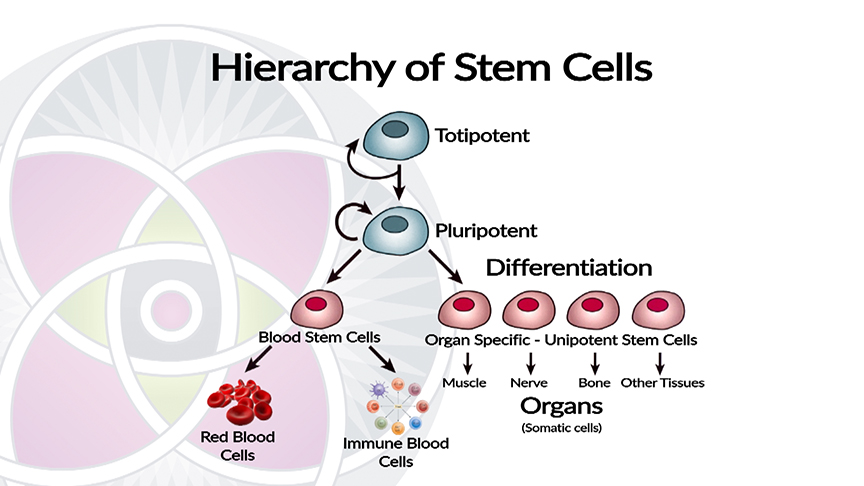 Hierarchy of How Stem Cells Develop