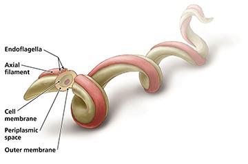 The dreaded Lyme Spirochete