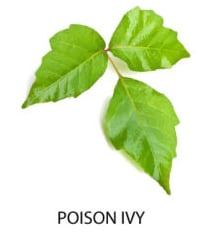 Poison Ivy is a common cause of contact dermatitis