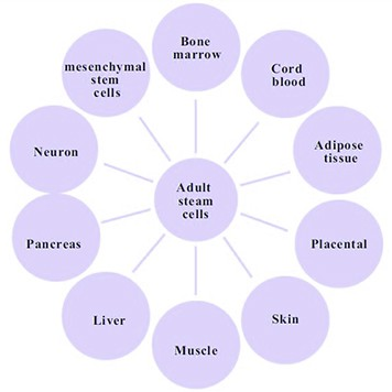 What are stem cells? Adult Stem Cells can be found in each of the developed organ systems