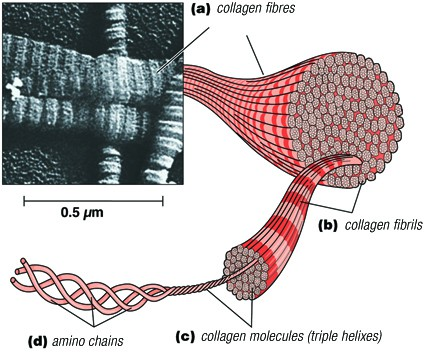 What is Collagen? Collagen is made up of small amino acid molecules