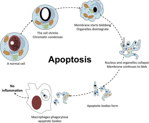 What is collagen? Apoptosis or programmed cell death