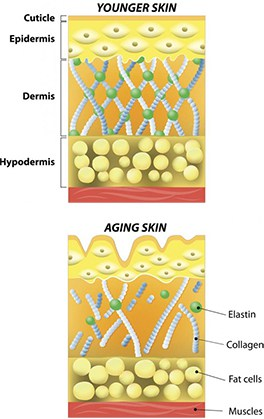 As we age, our collagen loses its structural integrity